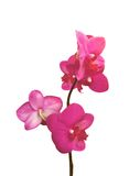 Pink orchid isolated on white Royalty Free Stock Images