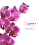 Pink orchid isolated on a white Stock Images