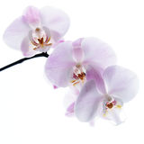 Pink orchid isolated Stock Photos