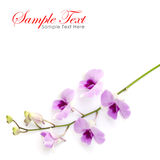 Pink orchid isolated on a white background Royalty Free Stock Photos