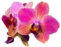 Pink orchid isolated on the white background Royalty Free Stock Photo