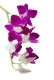 Pink Orchid isolated Royalty Free Stock Photography