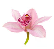 Pink orchid isolated on white Royalty Free Stock Photos