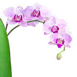 Pink orchid isolated on the white background Royalty Free Stock Photos