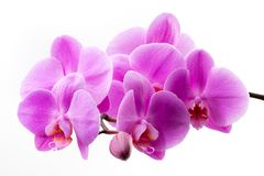 Pink orchid isolated on white background. Closeup. Royalty Free Stock Image