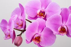 Pink orchid isolated on white background. Closeup Stock Photos