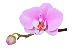 Pink orchid, isolated. Pink orchid on a white background with a large flower, isolated Royalty Free Stock Photos