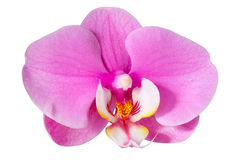 Pink orchid, isolated. Pink orchid on a white background with a large flower, isolated Royalty Free Stock Image