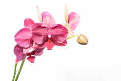 Pink orchid isolated on a white background Royalty Free Stock Photo