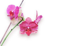 Pink orchid isolated on a white background Royalty Free Stock Image