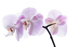 Pink orchid isolated on white Stock Images