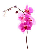 Pink orchid isolated white. Floral frame: pink orchid flowers close up isolated over a white background with empty copy space Stock Image