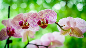 Pink orchid. Leaning into the light Royalty Free Stock Image