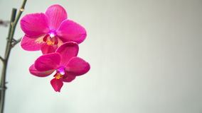 Pink Orchid on a light background stock video footage