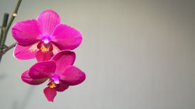 Pink Orchid on a light background stock video