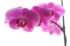 Pink Orchid on a light background. Orchid pink with light orange core on a light background Royalty Free Stock Photo