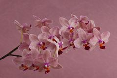Pink orchid is on lilac background. Pink orchid is on a lilac background Royalty Free Stock Photography