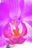 Pink orchid macro Stock Photography