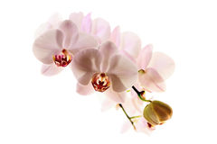 Pink orchid. Macro shot branch of pink orchid on white background Stock Photos