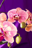 Pink Orchid macro with water drops. Phalaenopsis branch on purple background. Close up. Spring. Royalty Free Stock Photography