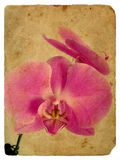 Pink orchid. Old postcard Stock Photos
