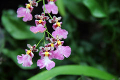 Pink orchid (Oncidium hybrid). A pink Oncidium Orchid like a dancing girl, pink petals and brown center, captured under the natural environment Stock Images