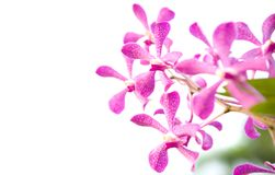 Pink orchid in an orchid garden Royalty Free Stock Images