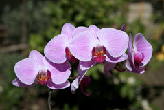 Pink Orchid. Orchids are some of the most commonly grown houseplants. With proper growing conditions, it isn`t difficult to take care of orchid plants stock photography