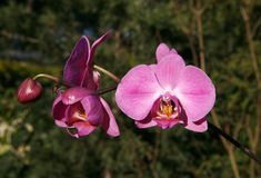 Pink Orchid. Orchids are some of the most commonly grown houseplants. With proper growing conditions, it isn`t difficult to take care of orchid plants Stock Photo