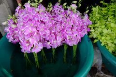 Pink orchid. Outdoor orchid sales in street market, Bangkok, Thailand Stock Photos