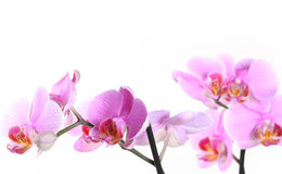 Pink orchid over white Royalty Free Stock Photos