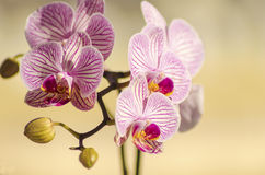 Pink Orchid, Phalaenopsis. A close up of a branch with blossomed pink striped petals of the beautiful flower orchid, Phalaenopsis. The orchidea is a symbol of Royalty Free Stock Photos