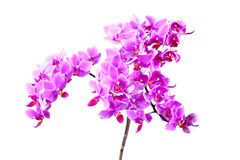 Pink orchid phalaenopsis Royalty Free Stock Images