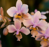 Pink orchid phalaenopsis Royalty Free Stock Photography
