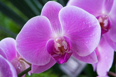 Pink orchid phalaenopsis Stock Images