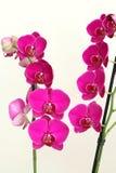 Pink orchid Phalaenopsis Stock Image