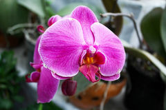Pink orchid phalaenopsis beautiful tropical flower royalty free stock images