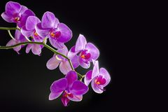 Pink orchid phalaenopsis on black background. Branch of orchid. Bouquet stock photo