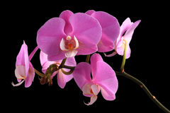 Pink orchid phalaenopsis. Pink orchid close up on black background Royalty Free Stock Image