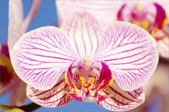 Pink Orchid, Phalaenopsis Royalty Free Stock Photo