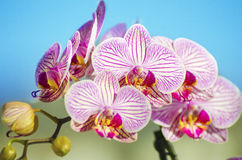 Pink Orchid, Phalaenopsis Royalty Free Stock Photos