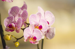 Pink Orchid, Phalaenopsis. A close up of a branch with blossomed pink striped petals of the beautiful flower orchid, Phalaenopsis. The orchidea is a symbol of Royalty Free Stock Photography