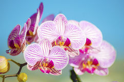 Pink Orchid, Phalaenopsis. A close up of a branch with blossomed pink striped petals of the beautiful flower orchid, Phalaenopsis. The orchidea is a symbol of Royalty Free Stock Photo