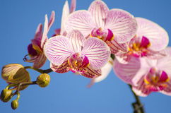 Pink Orchid, Phalaenopsis. A close up of a branch with blossomed pink striped petals of the beautiful flower orchid, Phalaenopsis. The orchidea is a symbol of Royalty Free Stock Images