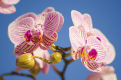 Pink Orchid, Phalaenopsis. A close up of a branch with blossomed pink striped petals of the beautiful flower orchid, Phalaenopsis. The orchidea is a symbol of Stock Photos