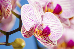 Pink Orchid, Phalaenopsis. A close up of a branch with blossomed pink striped petals of the beautiful flower orchid, Phalaenopsis. The orchidea is a symbol of Stock Photo