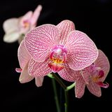 Pink orchid phalaenopsis on dark Royalty Free Stock Image