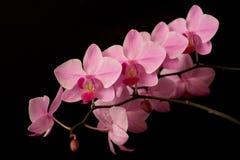 Pink orchid phalaenopsis on dark Stock Photo