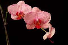 Pink orchid phalaenopsis on dark Stock Photos