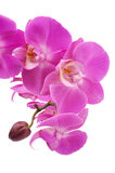 Pink orchid (Phalaenopsis) flowers Stock Images